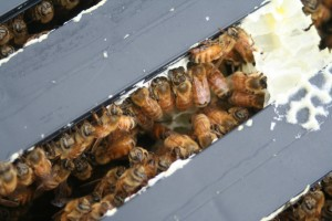 Bees between the frames