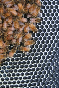 New honeybee eggs in the cells