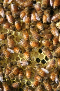 Honey bee larvae in a new hive