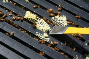 Removing the burr comb with a hive tool
