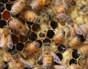 Honey bee emerging from a cell