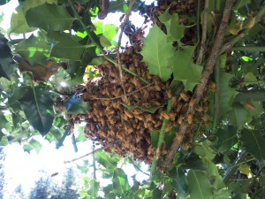 Swarm of bees in the holly tree