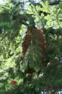 Feral honey bee swarm in a fir tree