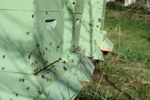 Lots of activity in the hives on a warm February day
