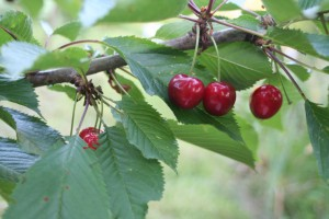 Glacier Cherries - Cherry Varieties for Western Washington